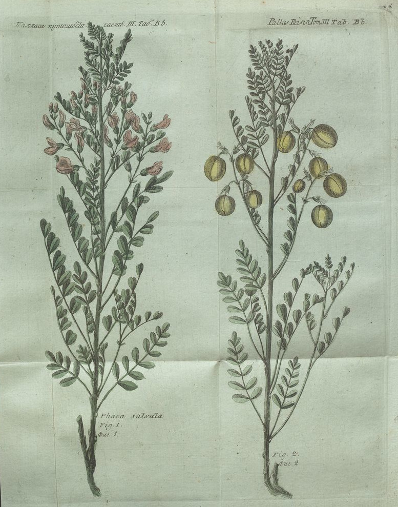 Putešestvìe po raznymʺ provincìâmʺ Rossīĭskago gosudarstva / P. S. Pallasa Vʺ Sanktpeterburgě : pri Imperatorskoj Akademìi naukʺ, 1788. T III tab Bb